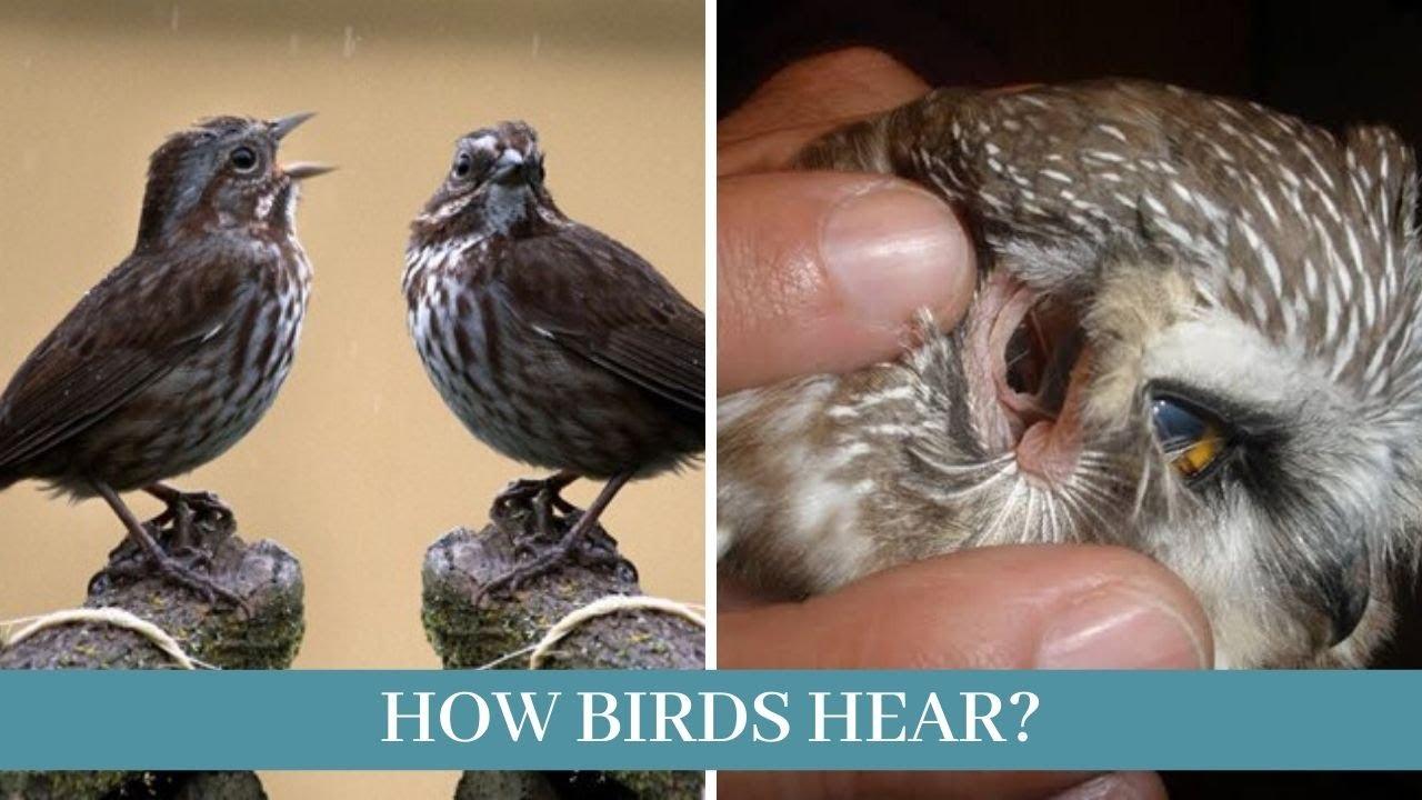 Download [How birds hear]    how birds hear sound    how birds hear without ears    how can birds hear