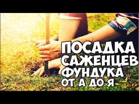 Посадка саженцев фундука от А до Я / Фундук-сад!!! planting hazelnuts