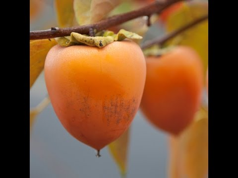 How To Plant Persimmon From Seeds