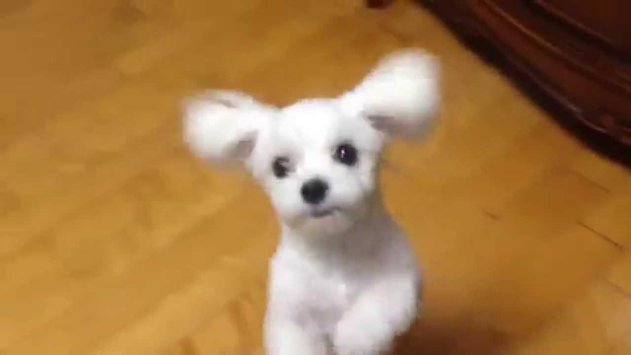 짜파게티 갈구하는 말티즈 강아지 Youtube