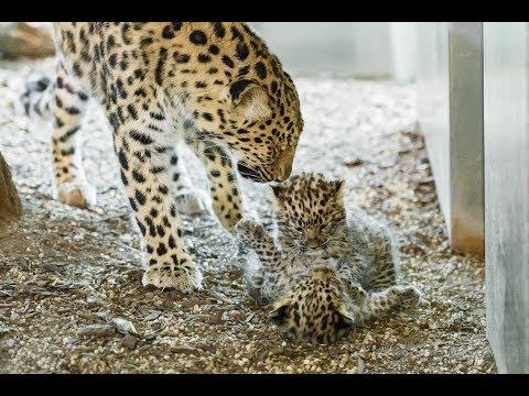 Leoparden-Nachwuchs im Tiergarten Schönbrunn