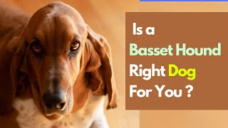 6 Things You need to Know Before Getting a Basset Hound