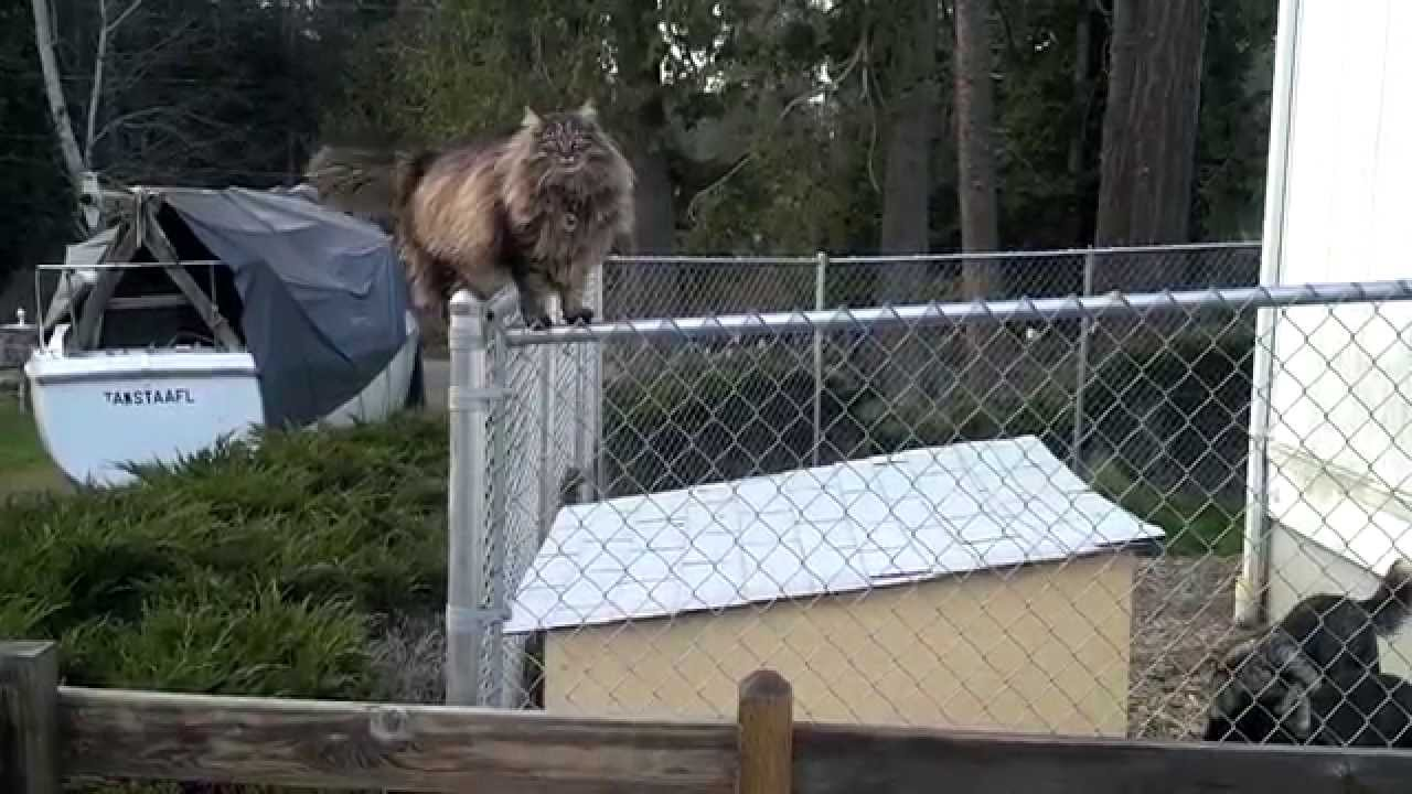 Cat Climbs Chain Link Fence Youtube