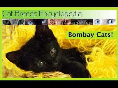 Bombay Cats 10 Quick Facts- Cat Breeds Encyclopedia