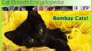 Bombay Cats 10 Quick Facts Cat Breeds Encyclopedia