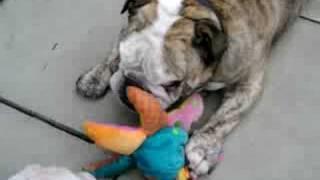 Bulldog Cross Boxer Playing With His Mates