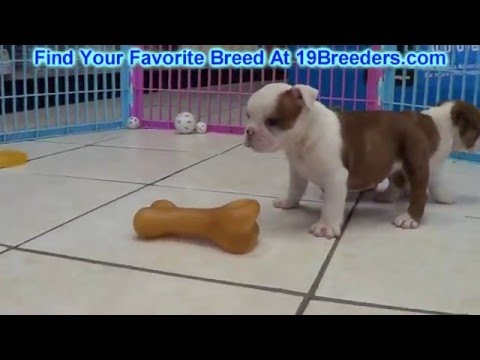 English Bulldog, Puppies, Dogs, For Sale, In Denver