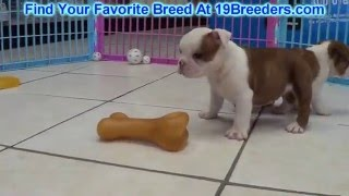 English Bulldog Puppies For Sale 19breeders