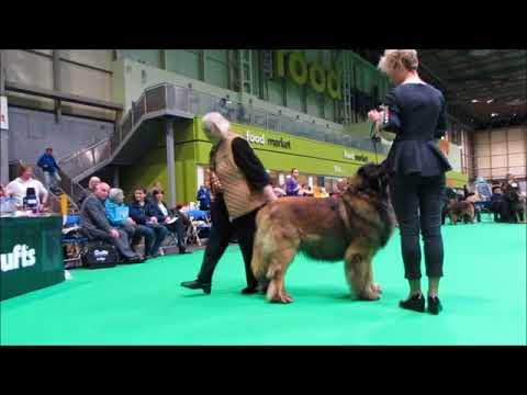 Crufts 2018 Leonberger open males