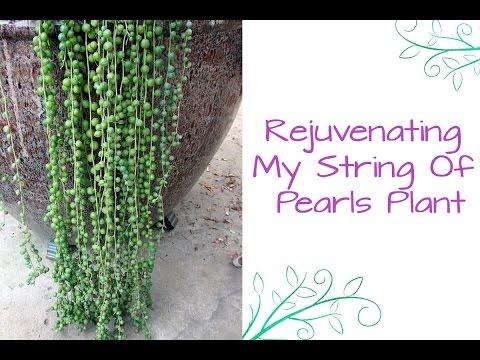Rejuvenating My String Of Pearls Plant