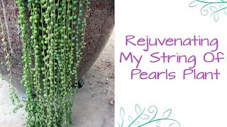 Rejuvenating My String Of Pearls Plant