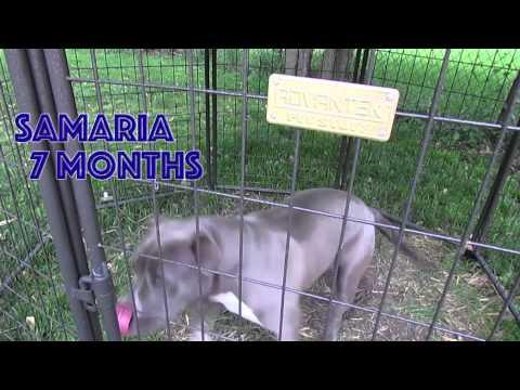''Samaria''   Blue Pitbull Dog
