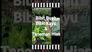 Bibit Jeruk Decopon Hida Bibit
