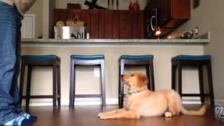 Piper (female Golden Retriever Puppy) Training