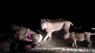 Lion Kill Hippo In South Luangwa