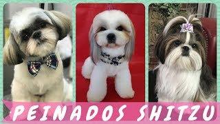 30 Excelentes  Ideas de cortes de pelo para shitzu