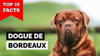Dogue de Bordeaux  Top 10 Facts