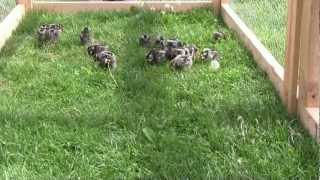 Silver laced Wyandotte chicks in the chicken tractor