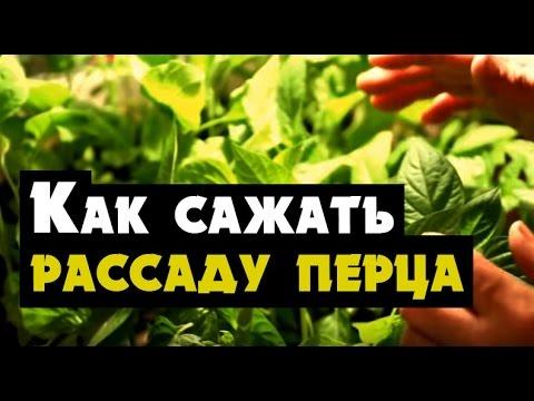 Как сажать рассаду перца в грунт в Сибири, Урале и Дальнем Востоке | выращивание | рассада | сибирь | сажать | перца | перец | когда | грунт | видео | урал