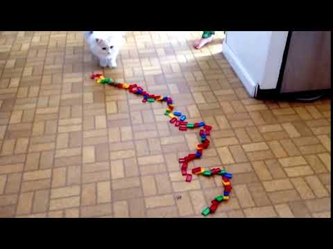 Funny cat trick The White Cat Snowy 1