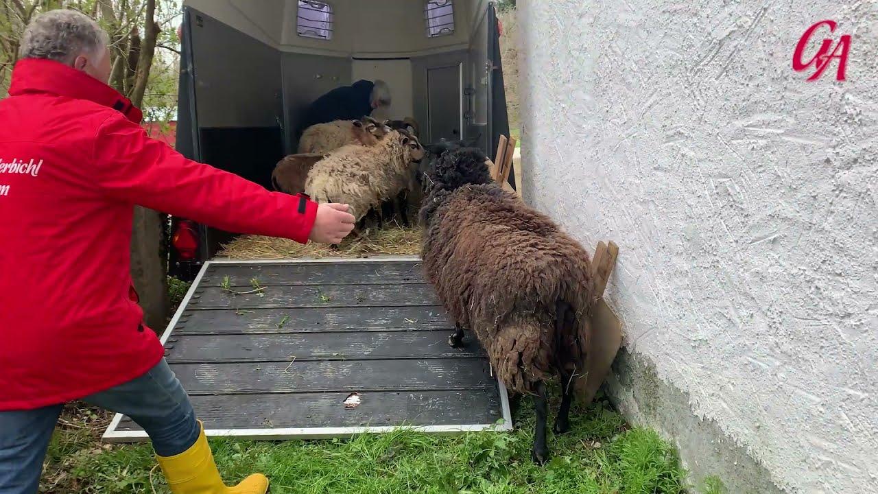 Schafe vom Chiemsee