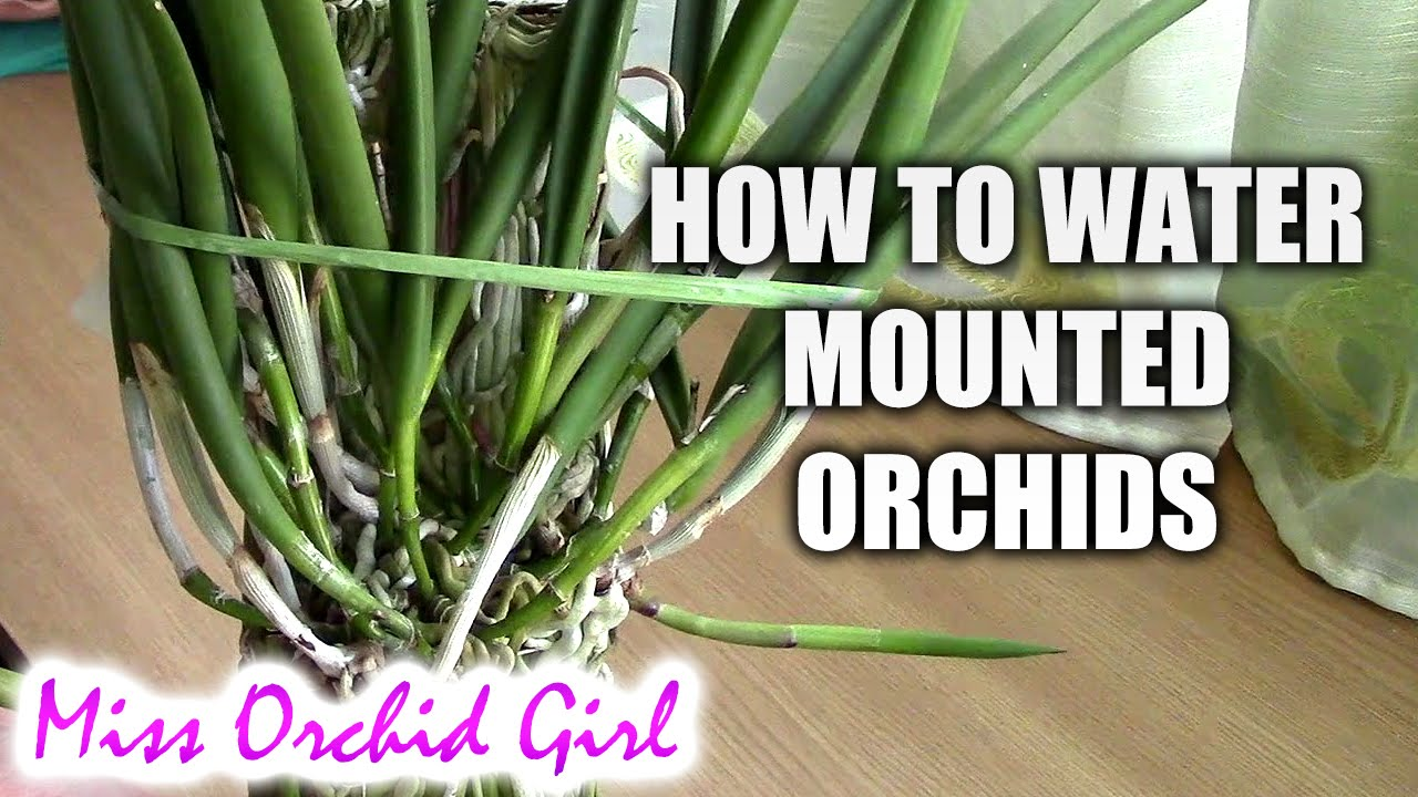 how to water mounted orchids youtube. Black Bedroom Furniture Sets. Home Design Ideas