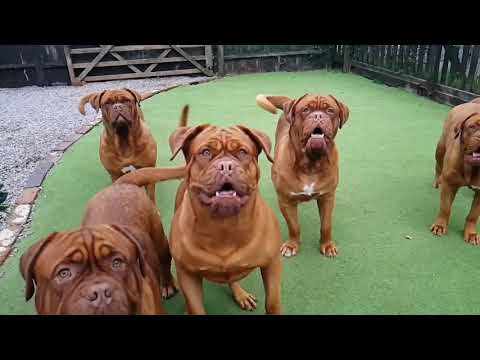 Crazy Dogue de Bordeaux Dogs in slow mo!