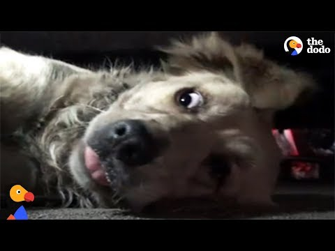 Thumbnail: Scared Golden Retriever Slowly Starts To Trust Rescuers | The Dodo