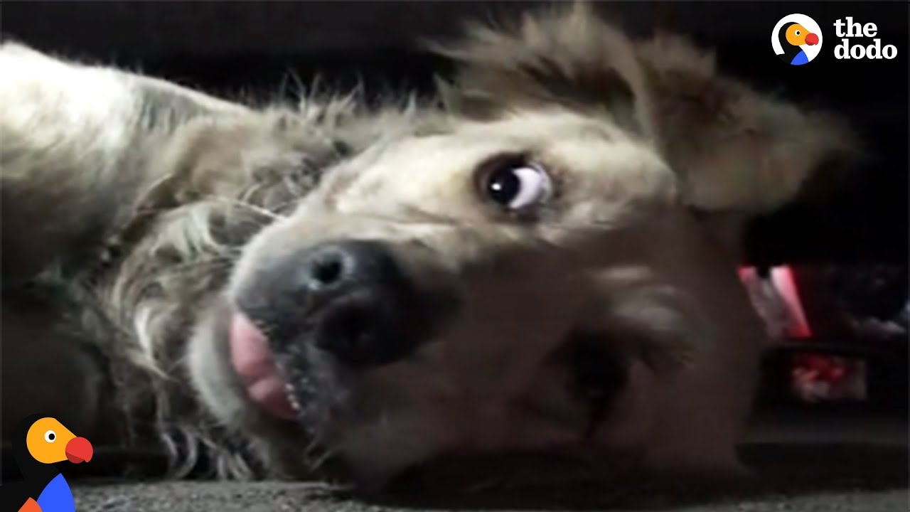 Scared Golden Retriever Slowly Starts To Trust Rescuers