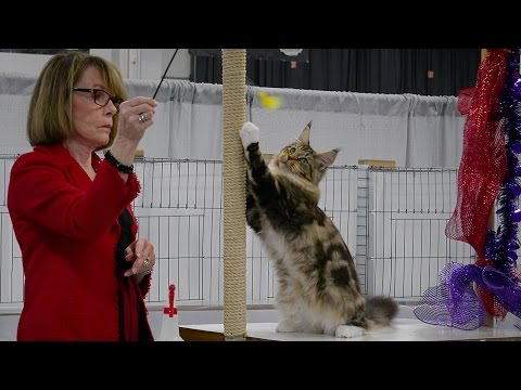 CFA International 2016 - Red Show Maine Coon kitten in class judging