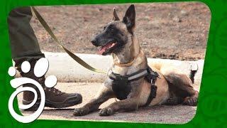 Служебные Собаки. Все О Домашних Животных