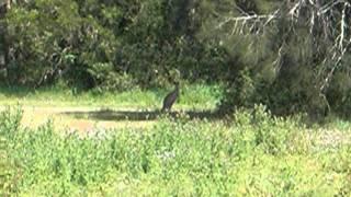 как прыгает кенгуру