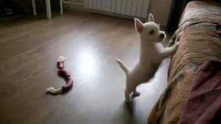 Вест Хайленд Уайт Терьер(West Highland White Terrier)малышке 2 месяца