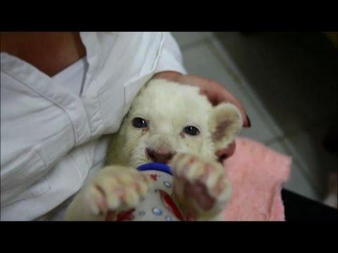 Due Cuccioli Di Leone Bianco Allo Zoo Di Belgrado