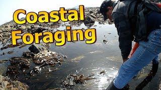 Coastal Foraging - Peeler Crab & Extra Ormer / Abalone Trip