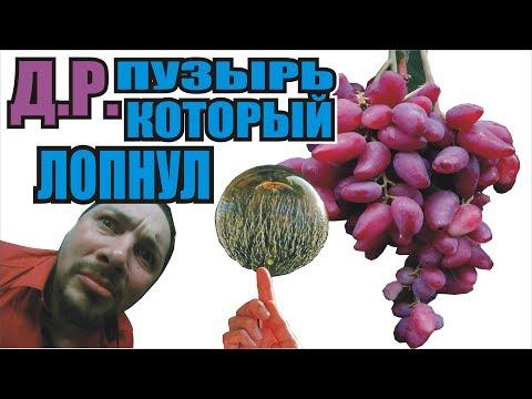 Гусев сказал ПРАВДУ- Дубовский Розовый ,ХУЖЕ Преображения! Виноград - дубовский Розовый