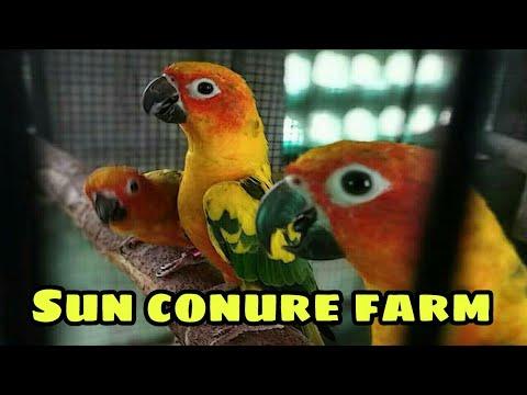SUN CONURE parrot available /hand tamed/ semi adult Exotic Birds Farm  Chennai All sunconure forsale