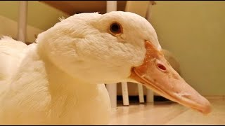 Duck's Spring Daily Routine: Time to eat the Camera!