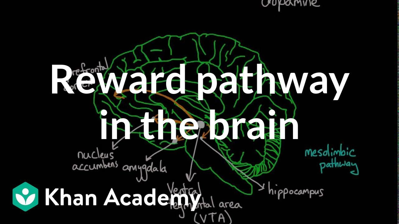 Reward Pathway In The Brain Video Khan Academy