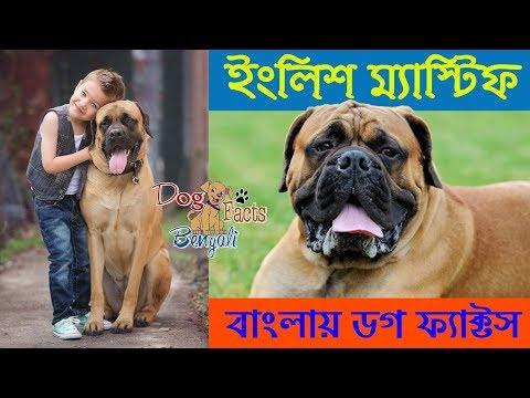 English Mastiff Dog Facts in Bengali | Giant Dog | Dog Facts Bengali