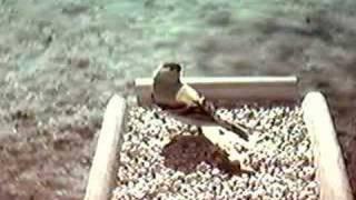 Goldfinch On The Birdfeeder