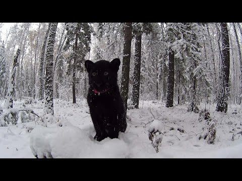 Walking with the leopard. Luna the black panther and the first snow