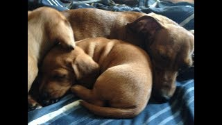 Best Breeding Tips Ever! How to Breed Your Mini Dachshunds: Plus Week 1 of Cookie's Pregnancy!