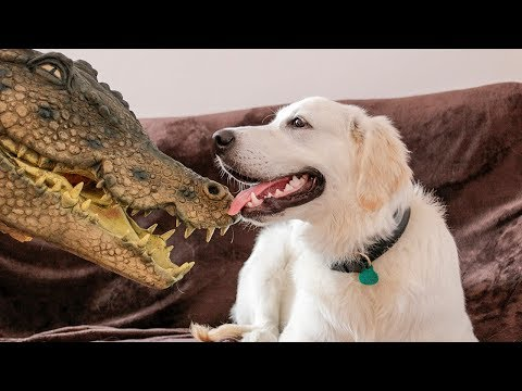 Dog vs Crocodile: Funny Golden Retriever Puppy Bailey