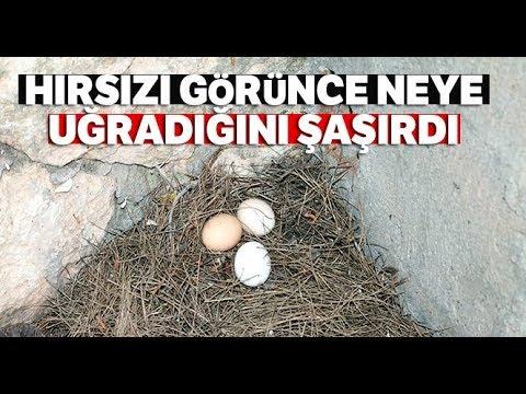 Yumurtaları Çalınınca Güvenlik Kamerası Yerleştirdi, Hırsızı Görünce Şoke Oldu