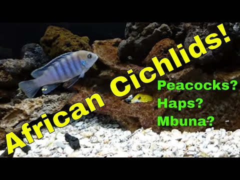 Cichlids, Peacocks, Haps Or Mbunas???