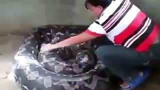 Woman Cleaning an Anaconda