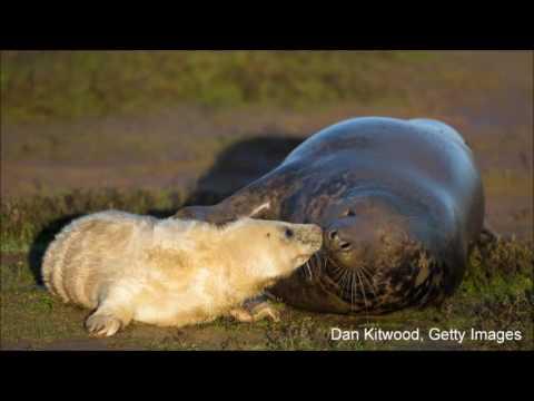 Bob Duchesne's Wild Maine: Grey Seal Pupping Colony