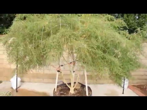 Year old 8 ft tall Marijuana Tree Tribute