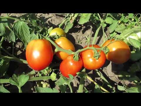 Помидоры сорта Новачок | помидоры | новачок | сорта